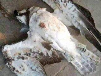 Peregrine Falcon fastest bird in the world murdered in Delta state